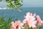 Lago di Garda_olive e oleandro_Foto Merighi